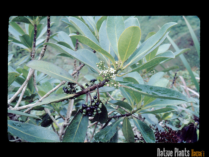 Genus: Ilex<br /> Species: anomala<br /> Setting: Natural Habitat<br /> Location (Island): Oahu<br /> Location: Trail to Konahuanui<br /> Subject Composition: Flower; Fruit; Leaves<br /> Creation Date: 1981.08.30<br /> Photo Courtesy of: John Obata<br /> Copyright Retained by: John Obata