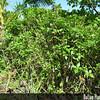 Genus: Lipochaeta<br /> Species: succulenta<br /> Setting: Landscape<br /> Location (Island): Maui<br /> Location: Kahanu Gardens NTBG Ka'eleku, Hana<br /> Subject Composition: Full View (Habit)<br /> NPH Photo Assignment: Full View<br /> Creation Date: 2009.11.04<br /> Photo Courtesy of: Forest & Kim Starr<br /> Copyright Retained by: Forest & Kim Starr