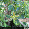 Genus: Metrosideros<br /> Species: macropus<br /> Setting: Natural Habitat<br /> Location (Island): Oahu<br /> Location: Aiea Ridge Trail, Ko'olau Mts.<br /> Subject Composition: Buds; Leaves<br /> Creation Date: 2005.12.12<br /> Photo Courtesy of: David Eickhoff<br /> Copyright Retained by: David Eickhoff