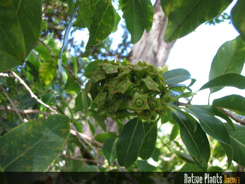 Genus: Metrosideros<br /> Species: macropus<br /> Setting: Natural Habitat<br /> Location (Island): Oahu<br /> Location: Aiea Ridge Trail, Ko'olau Mts.<br /> Subject Composition: Fruits<br /> Creation Date: 2009.06.08<br /> Photo Courtesy of: David Eickhoff<br /> Copyright Retained by: David Eickhoff<br /> Notes: Green fruit.