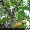 Genus: Ochrosia<br /> Species: compta<br /> Setting: Natural Habitat<br /> Location (Island): Oahu<br /> Location: Waimea Valley<br /> Subject Composition: Flower; Fruit<br /> Creation Date: 2006.11.19 <br /> Photo Courtesy of: David Eickhoff<br /> Copyright Retained by: David Eickhoff