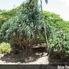 Genus: Pandanus<br /> Species: tectorius<br /> Setting: Landscape<br /> Location (Island): Oahu<br /> Location: Lilioukalani Botanical Garden<br /> Subject Composition: Full View (Habit)<br /> Creation Date:  2008.07.17<br /> Photo Courtesy of: David Eickhoff<br /> Copyright Retained by: David Eickhoff