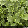 Genus: Peperomia<br /> Species: blanda<br /> Varieties: floribunda<br /> Setting: Landscape<br /> Location (Island): Oahu<br /> Location: Hui Ku Maoli Ola<br /> Subject Composition: Leaves<br /> Creation Date: 2006.02.23 <br /> Photo Courtesy of: Rick Barboza<br /> Copyright Retained by: Rick Barboza