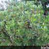 Genus: Pittosporum<br /> Species: glabrum<br /> Setting: Landscape<br /> Location (Island): Oahu<br /> Location: Leeward Community College<br /> Subject Composition: Full View (Habit)<br /> Creation Date: 2009.02.06 <br /> Photo Courtesy of: David Eickhoff<br /> Copyright Retained by: David Eickhoff