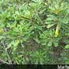 Genus: Pittosporum<br /> Species: glabrum<br /> Setting: Landscape<br /> Location (Island): Oahu<br /> Location: Leeward Community College<br /> Subject Composition: Leaves<br /> Creation Date: 2008.10.11<br /> Photo Courtesy of: David Eickhoff<br /> Copyright Retained by: David Eickhoff