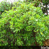 Genus: Pittosporum<br /> Species: glabrum<br /> Setting: Landscape<br /> Location (Island): Oahu<br /> Location: Leeward Community College<br /> Subject Composition: Full View (Habit)<br /> Creation Date: 2008.10.14<br /> Photo Courtesy of: David Eickhoff<br /> Copyright Retained by: David Eickhoff