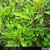 Genus: Pittosporum<br /> Species: glabrum<br /> Setting: Landscape<br /> Location (Island): Oahu<br /> Location: Leeward Community College<br /> Subject Composition: Leaves<br /> Creation Date: 2008.10.14<br /> Photo Courtesy of: David Eickhoff<br /> Copyright Retained by: David Eickhoff