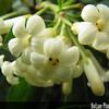 Genus: Pittosporum<br /> Species: glabrum<br /> Setting: Landscape<br /> Location (Island): Oahu<br /> Location: Leeawrd Community College<br /> Subject Composition: Flowers<br /> Creation Date: 2009.01.03 <br /> Photo Courtesy of: David Eickhoff<br /> Copyright Retained by: David Eickhoff