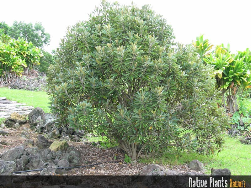 Genus: Pittosporum<br /> Species: hosmeri<br /> Setting: Landscape<br /> Location (Island): Hawaii<br /> Location: Amy B.H. Greenwell Ethnobotanical Garden<br /> Subject Composition: Full View (Habit)<br /> NPH Photo Assignment: Full View<br /> Creation Date: 2008.05.30 <br /> Photo Courtesy of: David Eickhoff<br /> Copyright Retained by: David Eickhoff