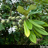 Genus: Pittosporum<br /> Species: hosmeri<br /> Setting: Landscape<br /> Location (Island): Hawaii<br /> Location: Amy B.H. Greenwell Ethnobotanical Garden<br /> Subject Composition: Fruit; Leaves<br /> Creation Date: 2009.02.10<br /> Photo Courtesy of: Mark Wasser<br /> Copyright Retained by: Mark Wasser<br /> Notes: Green fruits.