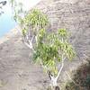 Genus: Pleomele<br /> Species: aurea<br /> Setting: Natural Habitat<br /> Location (Island): Kauai<br /> Location: Koke'e<br /> Subject Composition: Full View (Habit)<br /> NPH Photo Assignment: Full View<br /> Photo Courtesy of: Jupiter Nielsen<br /> Copyright Retained by: Jupiter Nielsen