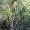 Genus: Pleomele<br /> Species: aurea<br /> Setting: Natural Habitat<br /> Location (Island): Kauai<br /> Location: Koke'e<br /> Creation Date: 2009.08.23<br /> Photo Courtesy of: Jupiter Nielsen<br /> Copyright Retained by: Jupiter Nielsen