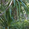 Genus: Pleomele<br /> Species: aurea<br /> Setting: Natural Habitat<br /> Location (Island): Kauai<br /> Location: Koke'e<br /> Subject Composition: Branches; Fruits; Leaves<br /> NPH Photo Assignment: Closeup<br /> Creation Date: 2009.08.23<br /> Photo Courtesy of: Jupiter Nielsen<br /> Copyright Retained by: Jupiter Nielsen