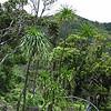 Genus: Pleomele<br /> Species: halapepe<br /> Setting: Natural Habitat<br /> Location (Island): Oahu<br /> Location: Hawai'loa Ridge Trail<br /> Creation Date: 2005.05.03<br /> Photo Courtesy of: David Eickhoff<br /> Copyright Retained by: David Eickhoff