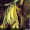 "Genus: Pleomele<br /> Species: halapepe<br /> Setting: Natural Habitat<br /> Location (Island): Oahu<br /> Location: ""Pupukea"" Paumaulu Ridge<br /> Subject Composition: Branch; Buds; Flowers<br /> NPH Photo Assignment: Closeup<br /> Creation Date: 1985.04.28<br /> Photo Courtesy of: John Obata<br /> Copyright Retained by: John Obata"