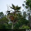 Genus: Pritchardia<br /> Species: minor<br /> Setting: Natural Habitat<br /> Location (Island): Kauai<br /> Location: Kalalau Rim<br /> Subject Composition: Full View (Habitat)<br /> NPH Photo Assignment: Full View<br /> Creation Date: 2008.09.14<br /> Photo Courtesy of: Michael DeMotta<br /> Copyright Retained by: Michael DeMotta