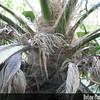 Genus: Pritchardia<br /> Species: munroi<br /> Setting: Landscape<br /> Location (Island): Oahu<br /> Location: Waimea Valley Audubon Center<br /> Creation Date: 2005.12.25<br /> Photo Courtesy of: David Eickhoff<br /> Copyright Retained by: David Eickhoff