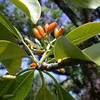 Genus: Psychotria<br /> Species: hawaiiensis<br /> Varieties: hawaiiensis<br /> Setting: Natural Habitat<br /> Location (Island): Molokai<br /> Location: Ka'aloa Ridge<br /> Subject Composition: Fruit; Leaves<br /> NPH Photo Assignment: Closeup<br /> Creation Date: 2003<br /> Photo Courtesy of: Ken Wood<br /> Copyright Retained by: Ken Wood