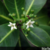 Genus: Psychotria<br /> Species: mariniana<br /> Setting: Natural Habitat<br /> Location (Island): Oahu<br /> Location: Manana<br /> Subject Composition: Flowers; Fruit<br /> NPH Photo Assignment: Closeup<br /> Creation Date: 2009.06.16<br /> Photo Courtesy of: Tom Ranker<br /> Copyright Retained by: Tom Ranker