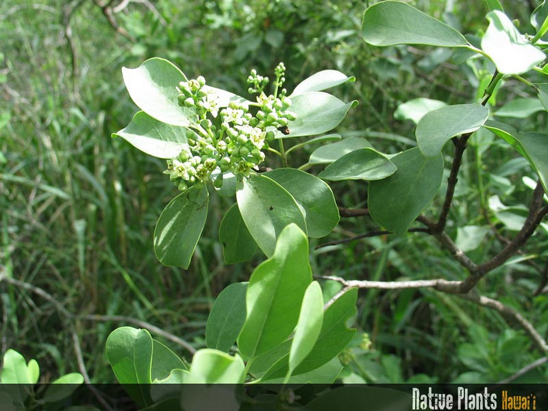Genus: Santalum<br /> Species: ellipticum<br /> Setting: Natural Habitat<br /> Location (Island): Oahu<br /> Location: Nanakuli Valley<br /> Subject Composition: Flower; Leaves<br /> Creation Date: 2008.11.29<br /> Photo Courtesy of: David Eickhoff<br /> Copyright Retained by: David Eickhoff