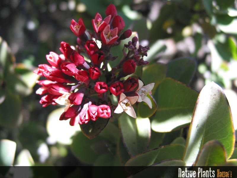 Genus: Santalum<br /> Species: haleakalae<br /> Setting: Natural Habitat<br /> Location (Island): Maui<br /> Subject Composition: Flowers<br /> NPH Photo Assignment: Feature<br /> Creation Date: 2002.02<br /> Photo Courtesy of: Ethan Romanchak<br /> Copyright Retained by: Ethan Romanchak
