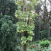 Genus: Tetraplasandra<br /> Species: hawaiensis<br /> Setting: Landscape<br /> Location (Island): Hawaii<br /> Location: Lyon Arboretum<br /> Subject Composition: Full View (Habit)Creation Date: 2005.05.28 <br /> Photo Courtesy of: David Eickhoff<br /> Copyright Retained by: David Eickhoff