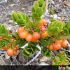 Genus: Vaccinium<br /> Species: reticulatum<br /> Setting: Natural Habitat<br /> Location (Island): Hawaii<br /> Location: Hawaii Volcanoes National Park<br /> Subject Composition: Fruit; Leaves<br /> NPH Photo Assignment: Feature<br /> Creation Date: 2008.05.29 <br /> Photo Courtesy of: David Eickhoff<br /> Copyright Retained by: David Eickhoff<br /> Notes: Orange is one of the many berry colors of 'ohelo 'ai. They can also be red, purplish, yellow, yellowish green, pink, and even a dull black!
