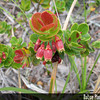 Genus: Vaccinium<br /> Species: reticulatum<br /> Setting: Natural Habitat<br /> Location (Island): Hawaii<br /> Location: Hawaii Volcanoes National Park<br /> Subject Composition: Flowers; Leaves<br /> NPH Photo Assignment: Closeup<br /> Creation Date: 2008.05.29 <br /> Photo Courtesy of: David Eickhoff<br /> Copyright Retained by: David Eickhoff<br /> Notes: 'Ohelo 'ai flowers and leaves are attractive features of this native shrub.