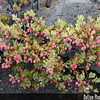 Genus: Vaccinium<br /> Species: reticulatum<br /> Setting: Natural Habitat<br /> Location (Island): Maui<br /> Location: Kalahaku, Haleakala National Park<br /> Subject Composition: Full View; Fruit; Leaves<br /> NPH Photo Assignment: Full View<br /> Creation Date: 2001.11.07<br /> Photo Courtesy of: Forest & Kim Starr<br /> Copyright Retained by: Forest & Kim Starr