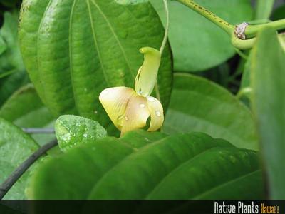 Vigna o-wahuensis