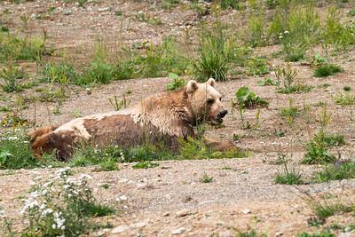Napa ist der erste Bewohner der 2018 errichteten Bärenanlage im Weisshorngebiet von Arosa.