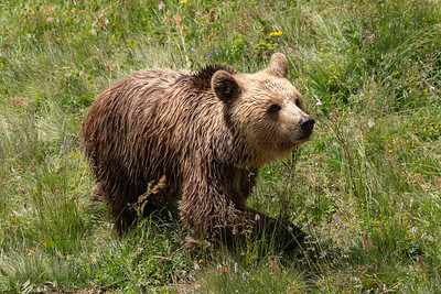 Amelia ist im Februar 2019 im Bärenland eingezogen und hat sich bereits gut eingelebt. Sie verträgt sich mit Napa ausgezeichnet, während der dritte Bär Meimo zurzeit eher zurückgezogen lebt.