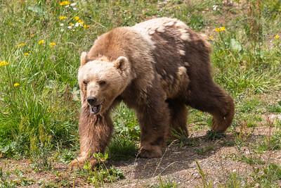In der grosszügigen Bärenanlage verbringen die Bären den zweiten Lebensabschnitt in einer artgerechten Haltung in der bündnerischen Berglandschaft.