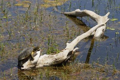 Europäische Sumpfschildkröte (Emys orbicularis hellenica), Griechenland