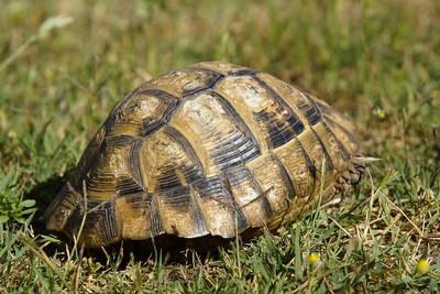 Maurische Landschildkröte (Testudo graeca ibera), Griechenland