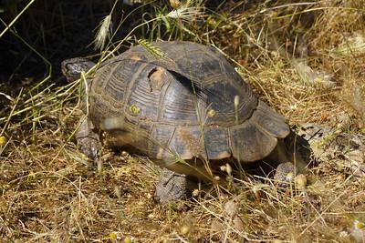 Breitrandschildkröte (Testudo marginata), Griechenland