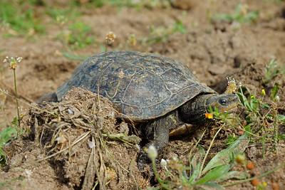 Westkaspische Schildkröte (Mauremys rivulata), Griechenland
