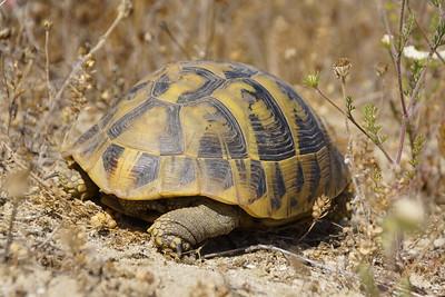 Griechische Landschildkröte (Testudo hermanni boettgeri), Griechenland