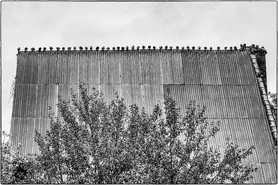 pigeons on a tin roof