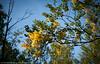 Bjørk med høstgule blader