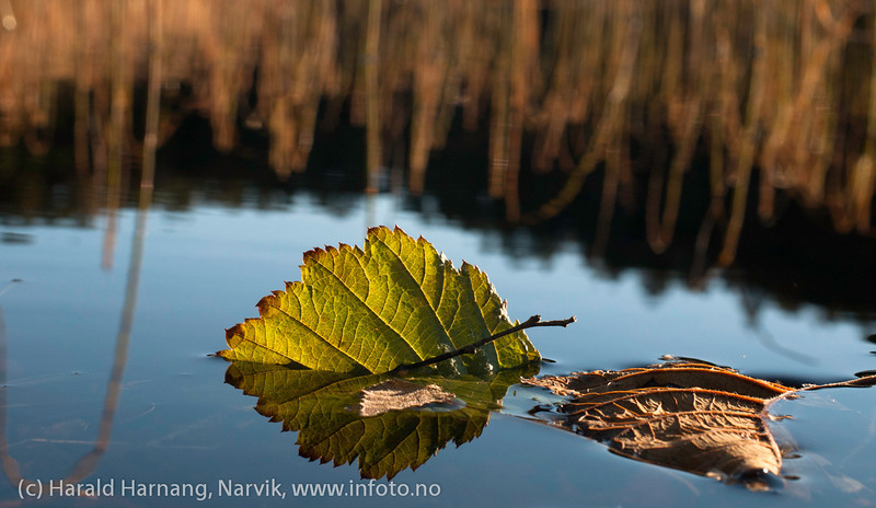 Blad halvveis ned i innsjø. Makrofoto oktober 2012, Efjord.