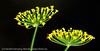 Blomst av dill. Kan også bruks som krydder. Makrofoto oktober 2012, Efjord.