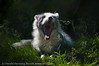 Dyr på Polar Zoo. Polarrev fotografert gjennom nettinggjerde.