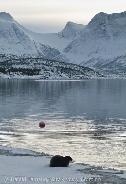 Storkobbe på isen i Efjord, rett utenfor hyttebebyggelse mellom Kobbvika og Strandnes,  februar 2011.