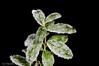 Iskrystaller på tytebærblad. januar 2012