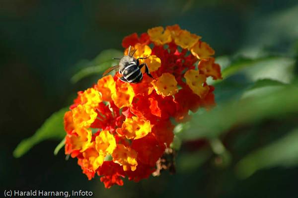 Bomster og en bie