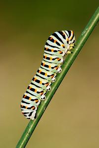 Papilio machaon - Emilia Romagna - Italia