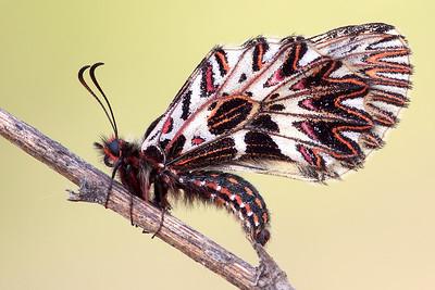 Zerynthia polyxena - Emilia Romagna - Italia