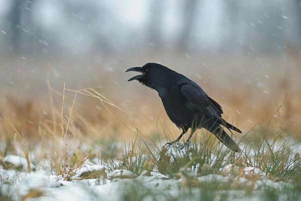 Kruk (Corvus corax) Portret kraczącego ptaka, w czasie styczniowej śnieżycy.  © Paweł Pawlak - Fotografia przyrodnicza