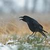 Kruk (Corvus corax) Portret kraczącego ptaka, w czasie styczniowej śnieżycy. <br /> © Paweł Pawlak - Fotografia przyrodnicza